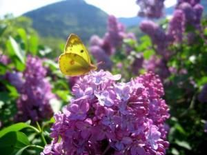 lilas-et-papillon-c-est-le-printemps-241